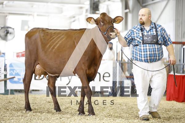 2016 Milking Shorthorn Cows