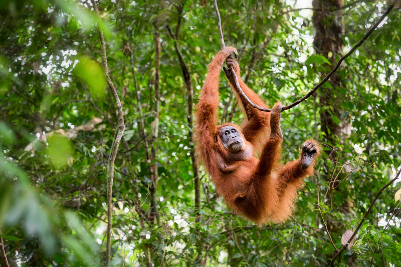 This was the first Orangutan we encountered during our time in Sumatra. She remained very high in the canopy but after about half an hour, climbed lower to change locations to another tree