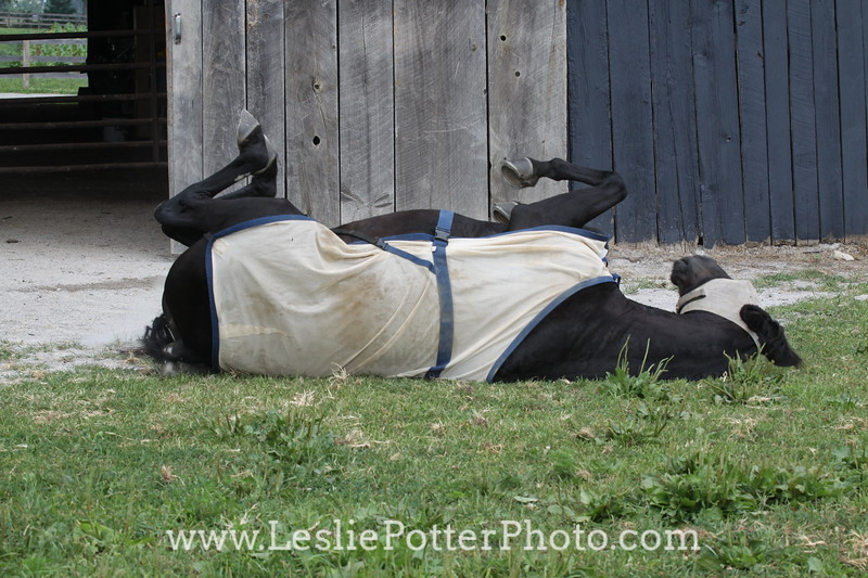 Rolling Horse Wearing Fly Mask and Fly Sheet