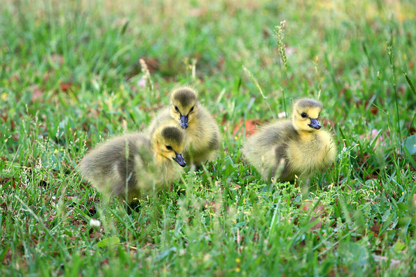 Baby Ducks and Geese