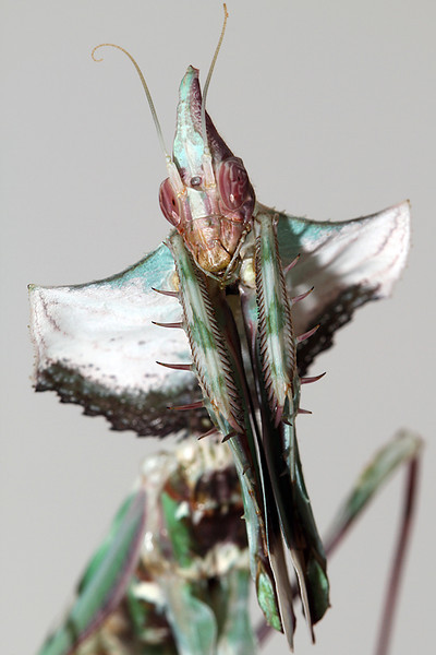 Adult Female Idolomantis.jpg