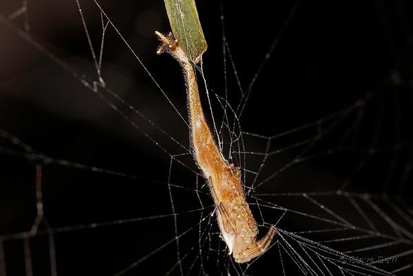 Arachnura - Scorpion-tailed Spiders