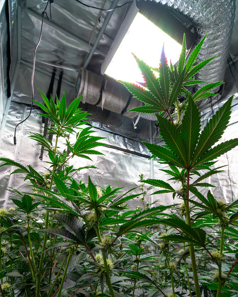 Cannabis Photography | RevMicro (hi res)