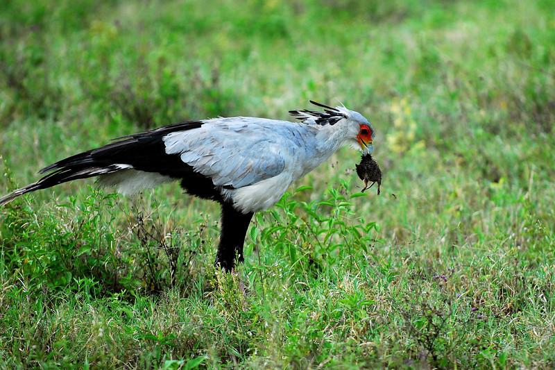 Secratery Bird
