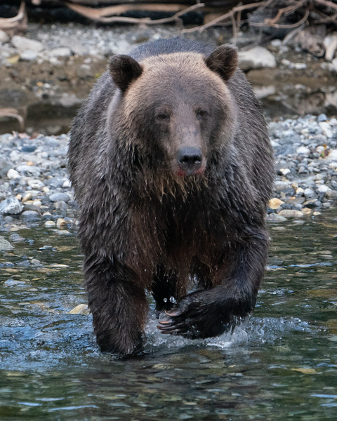 BC-Grizzly-Bears-08912.jpg