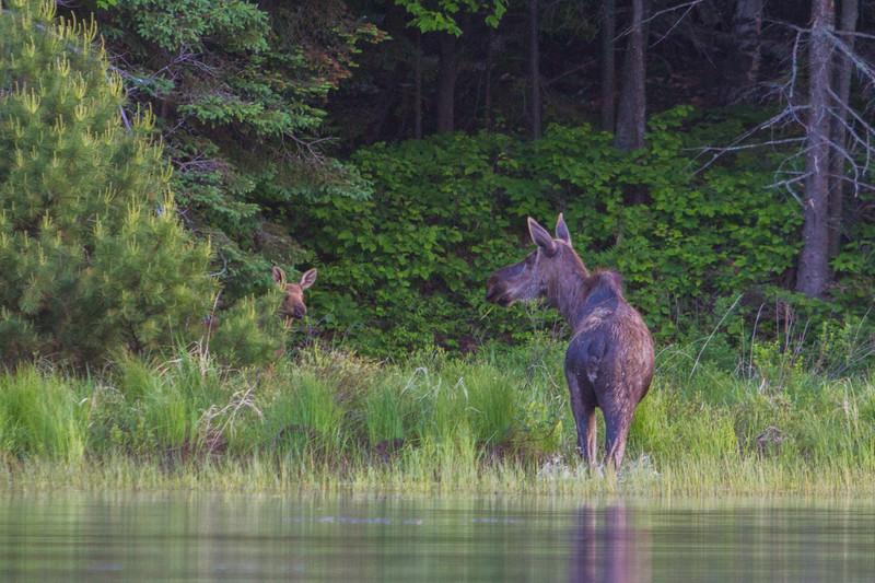 moose-safari-algonquin-park-ontario-36.jpg