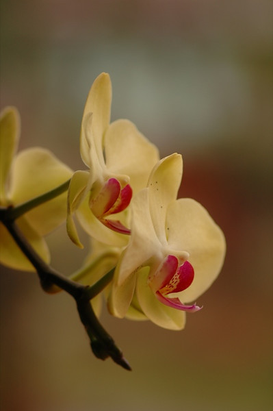 Beautiful Orchids - Inle Lake, Myanmar (Burma)