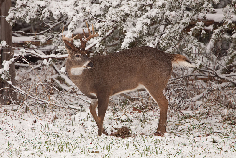 White-tailed buck in snow.