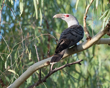 Channel-billed Cuckoo (Scythrops novaehollandiae)