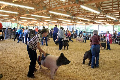 Intermediate Swine Showmanship Sunday