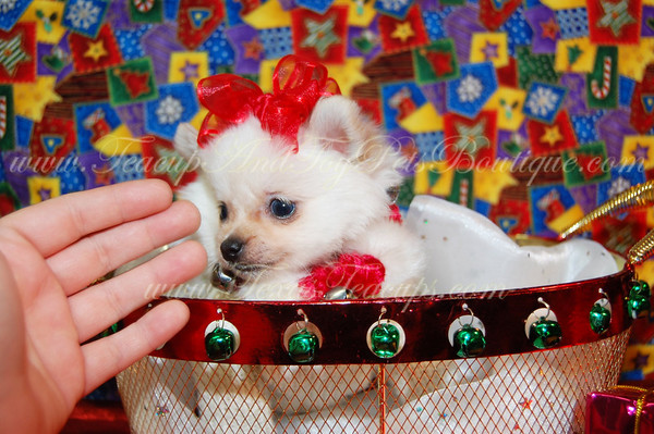SOLD Pomeranian Puppy 2284 (Female) to Wayne M.
