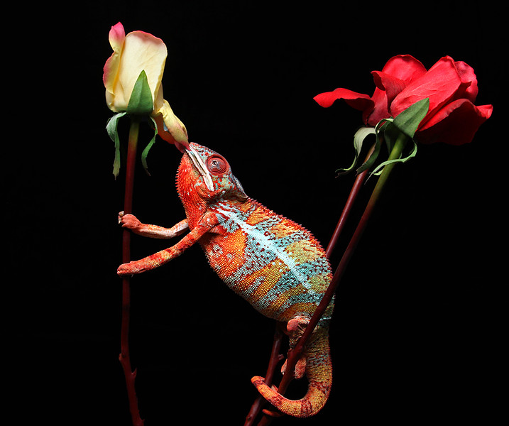 Chameleon Eating Rose and Hornworm.jpg