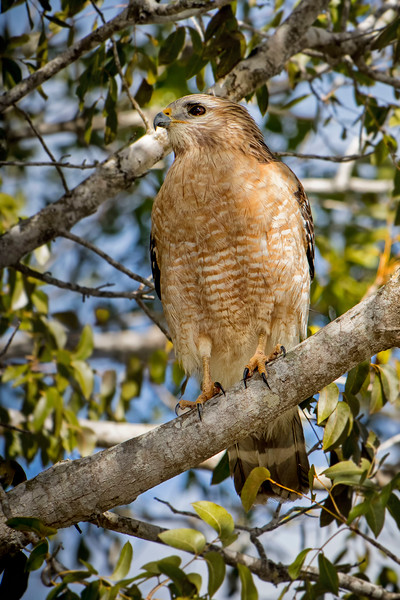 Red Shouldered Hawk on branch_IMG_1590.jpg