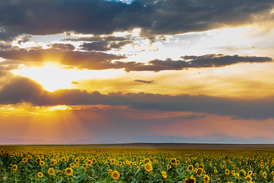 Colorado Sunflower Field and Sunrays