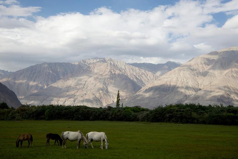 Horses in the Nubra Valley