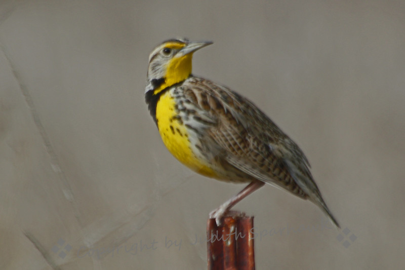 Western Meadowlark ~ This beauty was photographed at Santa Jacinto Wildlife Area last Sunday.  He was perched beside the road, singing his lovely trilling song.