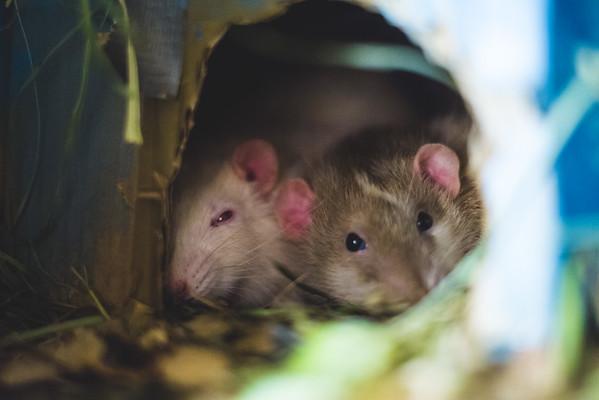 Random Rats