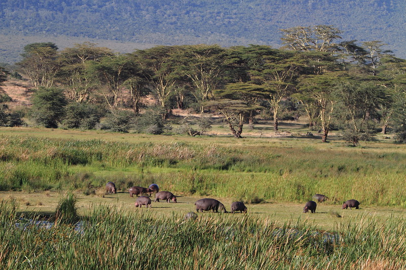 Hippos in the Crater 2.JPG