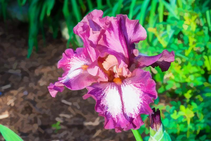 Garden Iris 05