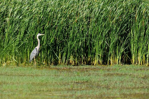 Herons,  Cranes, Bitterns and Egrets