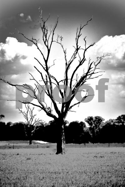 Victorian trip tree bw.jpg