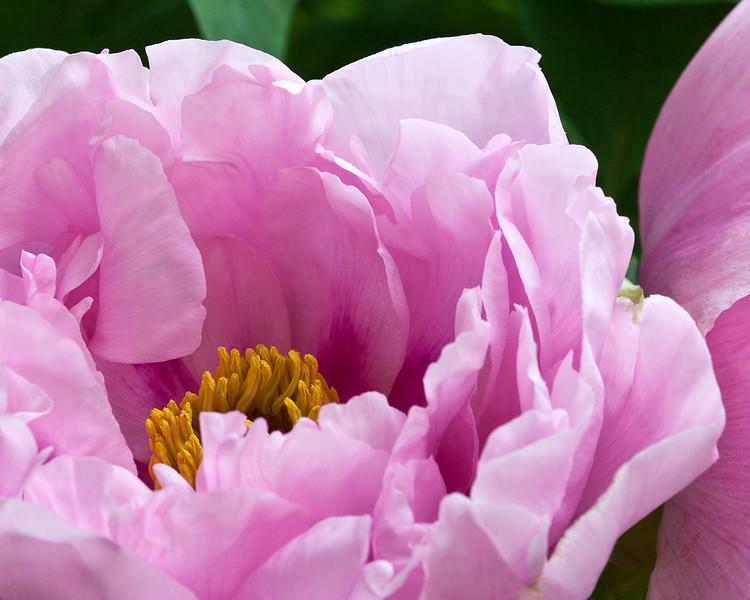 pink-peony-2.jpg