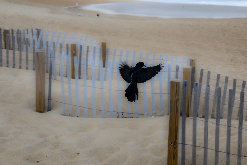 black bird by the ocean 3-.jpg