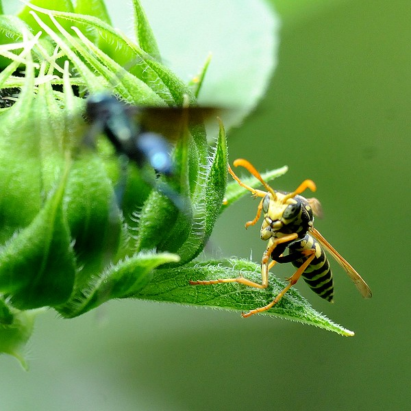 Yellow Jacket on Sunflower