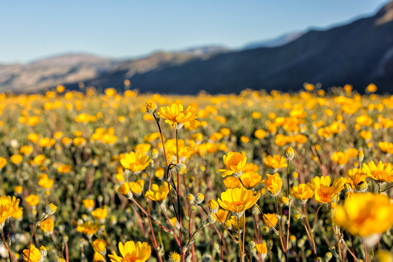 Anza Borrego Super Bloom