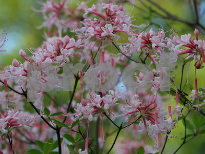 east-texas-soils-climate-well-suited-for-growing-azaleas