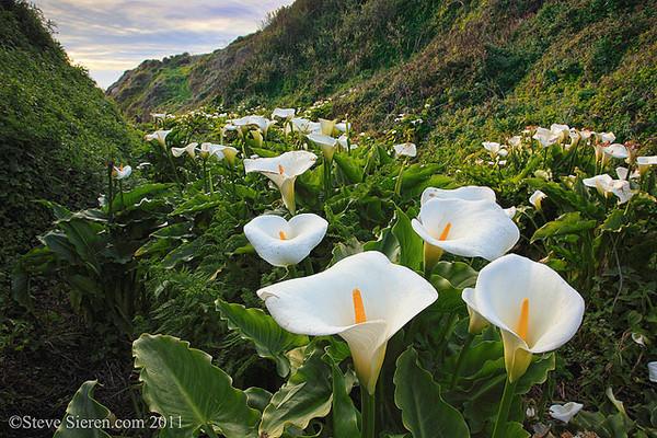 Calla Lilies Big Sur Garrapata State Park, California