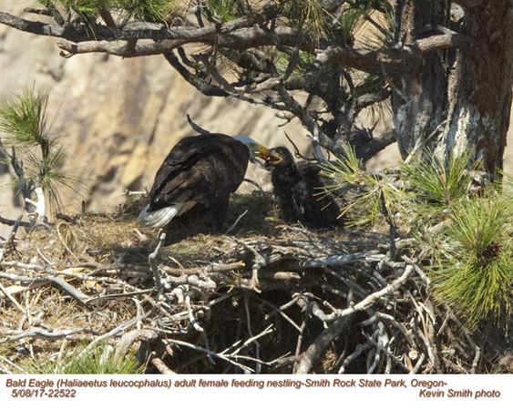 Bald Eagle A&N22522.jpg