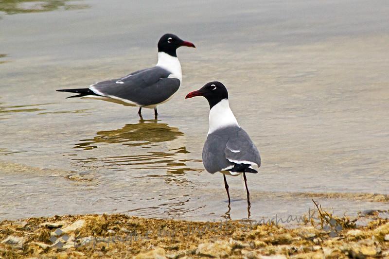 Laughing gull duohoriz.jpg
