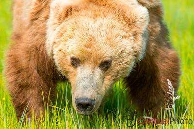 Alaska 2012 Bear & Puffin Photo Safaris