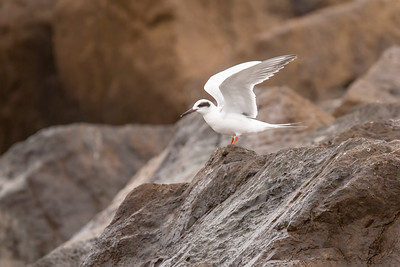 Feb. 28, 2021 - Forster's  Tern