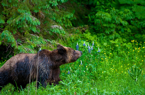 Bears of the Khutzeymateen