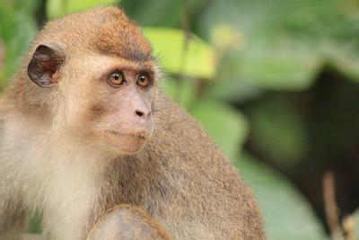 Kinabatangan River - Monkeys and Apes