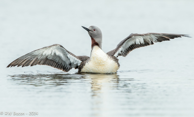 Red-throated Loon Flap-1.jpg