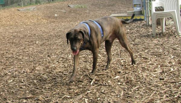 PEPPER (plott hound)