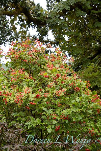 Viburnum opulus 'Compactum' with berries_2666.jpg