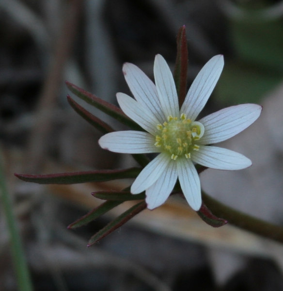 Anemone marlandica 2.jpg