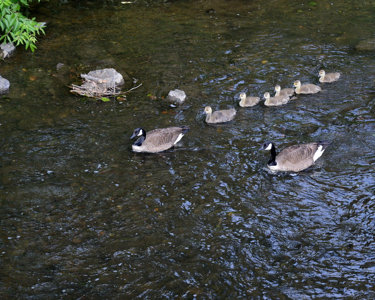 Family of Geese Clinton.JPG