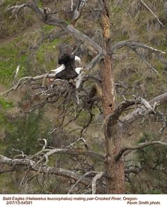 Bald Eagles P 64581.jpg