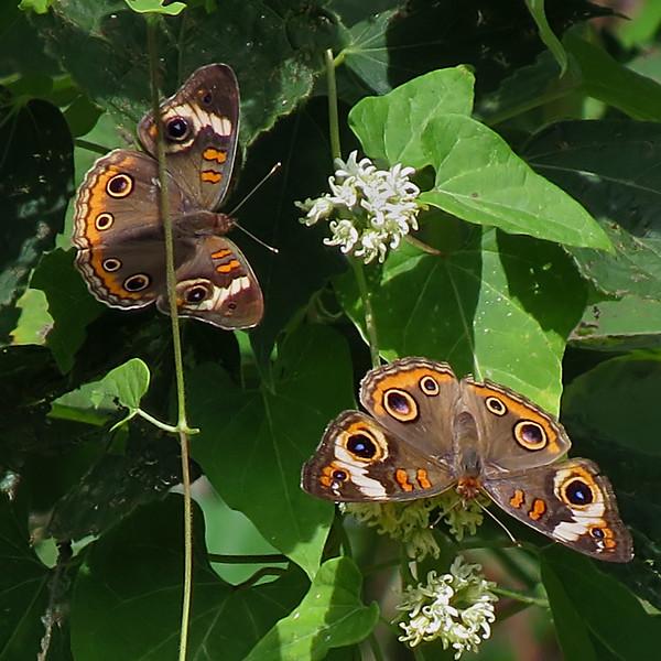 sx50_fauna_butterflies_buckeye_073.jpg