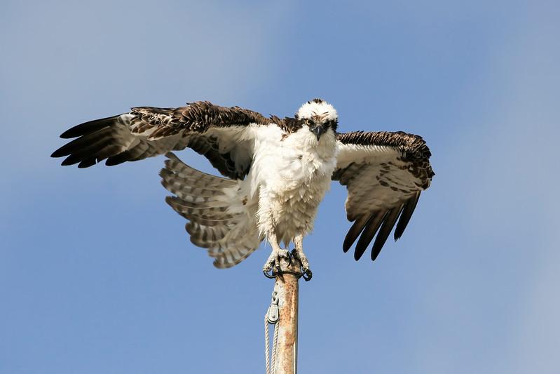 Osprey_After_Bath_IMG_3768.jpg