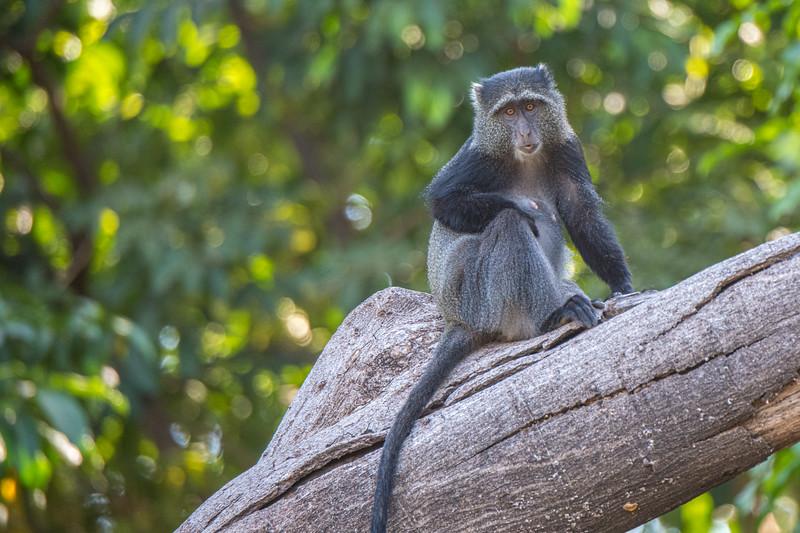 Blue Monkey, Lake Manyara, Tanzania
