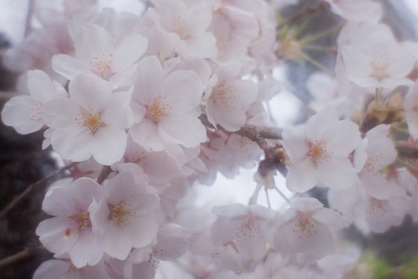 Cherry Blossoms 2010