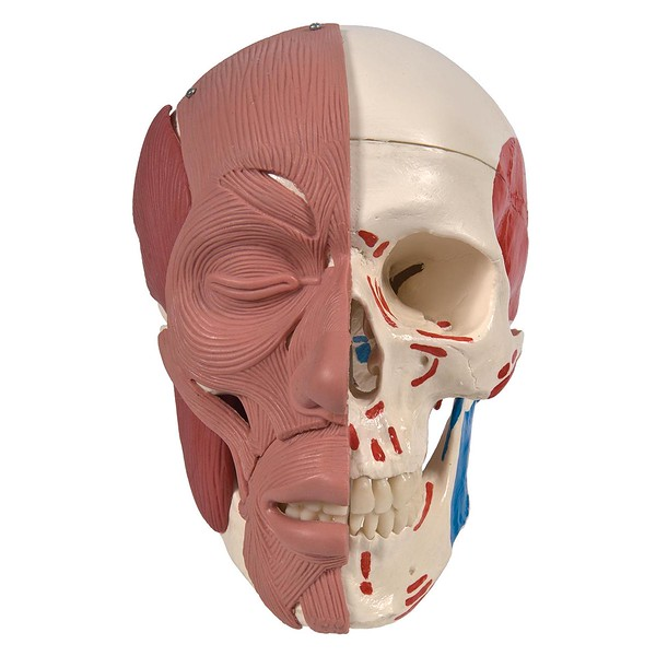 img_A300_Skull-with-Facial-Muscles_2.jpg