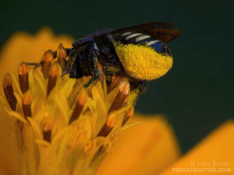 Pollen under a leafcutter bee