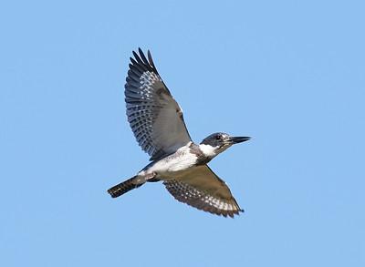 Santa Clara County Birds
